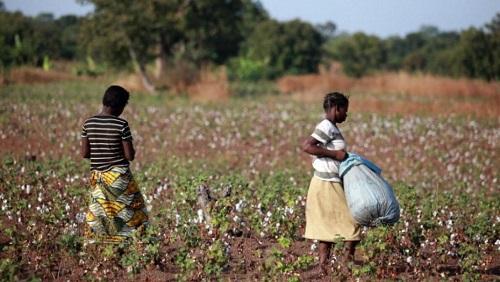 Des jeunes filles récoltent du coton biologique, le coton premier choix que produit le Burkina Faso. © Getty Images