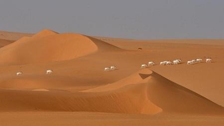 Un groupe d'antilopes addax dans le désert du Tin-Toumma. (Image d'illustration) © Thomas Rabeil / IUCN / AFP