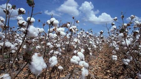 Un champ de coton au Tchad. © Wikimedia/Domaine public